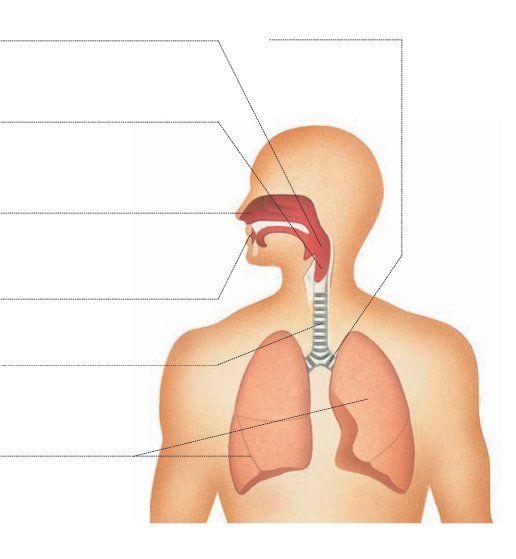 Órganos del aparato respiratorio - Doctissimo