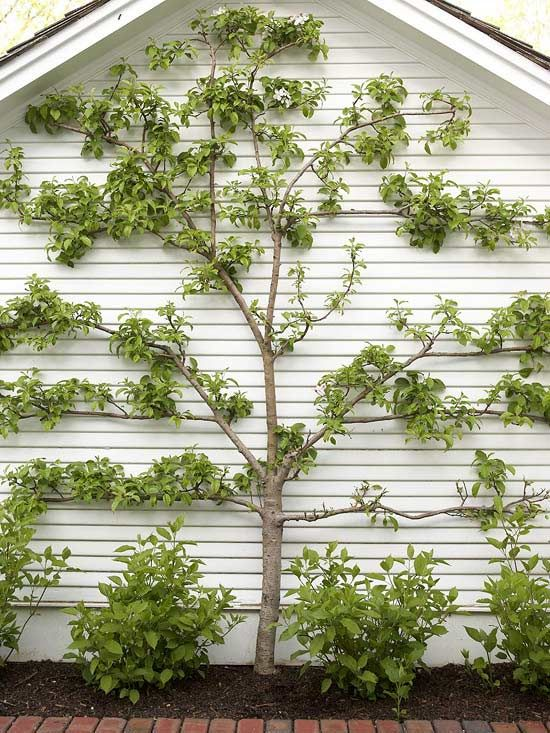 Traditionally espalier was exclusive to fruit trees, but now a variety of trees are being trained to branch horizontally, offering new design possibilities, particularly in small spaces. Plant crabapples inches from an exterior wall to soften a space and add spring color. Position espaliered trees on the patio or deck to create a living privacy screen.