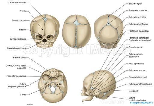 Anatomía del cráneo: ilustraciones anatómicas