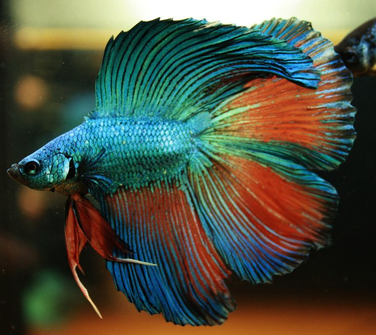 17 best images about colors of beta fishes on pinterest for What is a beta fish