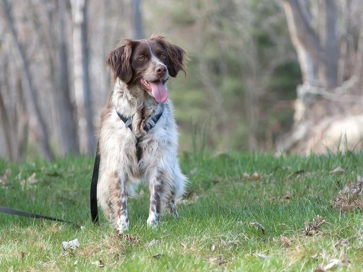 Razas de perros más bonitos del mundo: Spaniel bretón
