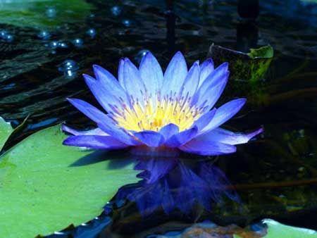 Significado de Flor de Lótus Roxa, Vermelha, Rosa, Azul