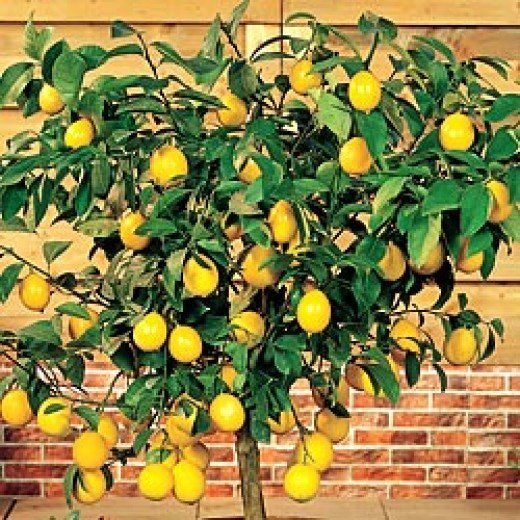 The 25 best indoor fruit trees ideas on pinterest lemon - Limonero en maceta ...