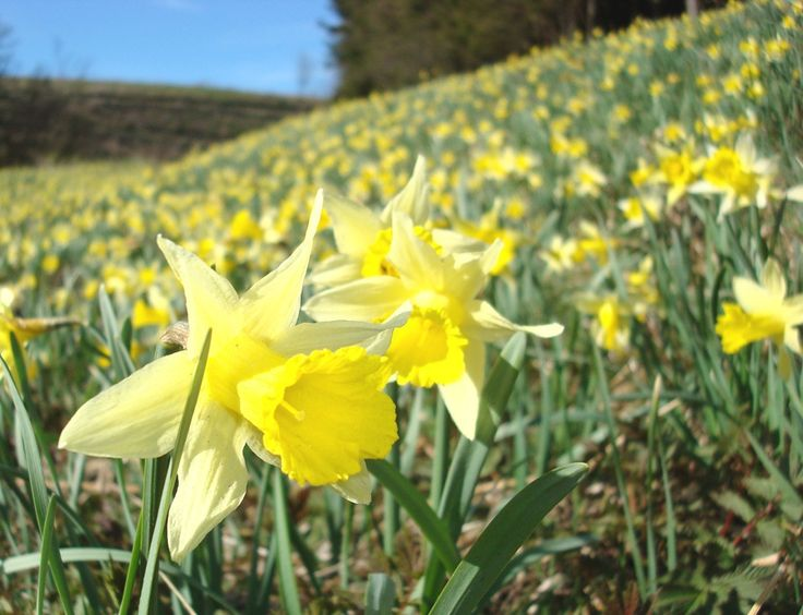 Im Naturpark Hohes Venn-Eifel kann man im Frühjahr die Narzissenblüte erleben, © Naturpark Hohes Venn-Eifel