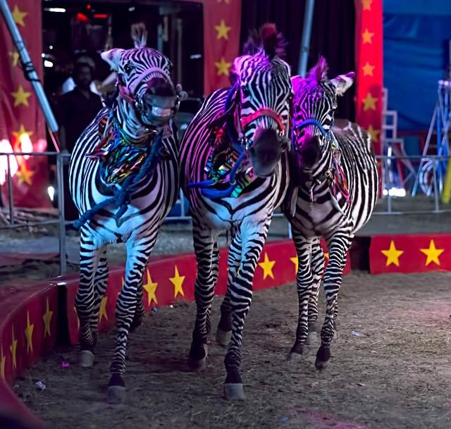 Casino zebra circus