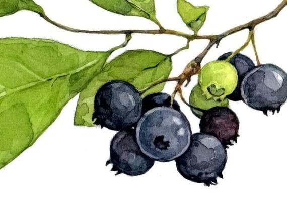 Blueberry Botanical Drawing Related Keywords - Blueberry ...