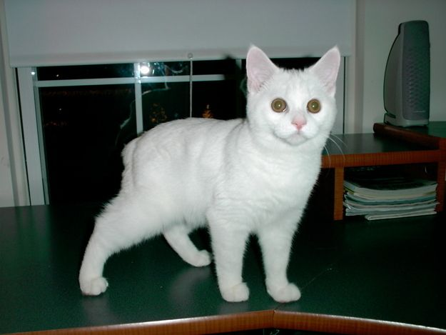 White ones. | 37 Manx Cats That Prove You Don't Need A Tail To Be Happy