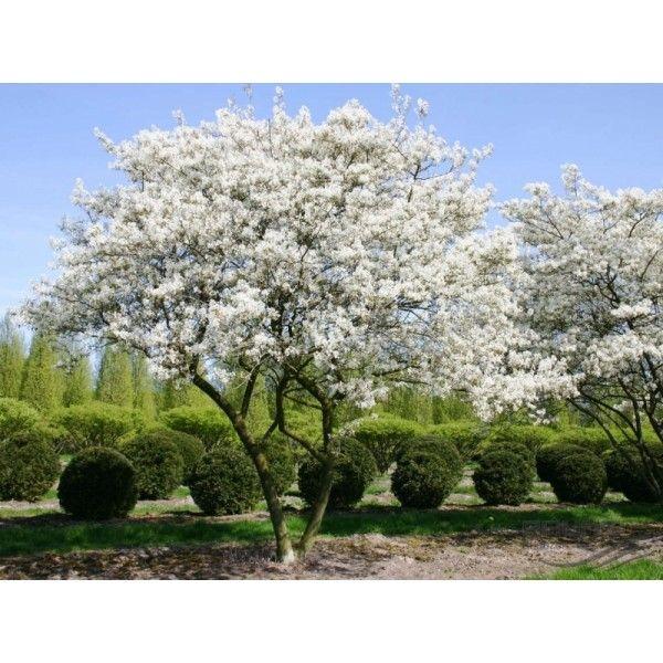 Amelanchier Lamarckii - Amerikaanse Krentenboom http://pratec.nl/product-categorie/bomen/?orderby=price&filtering=1&filter_latijnse-naam=135 Krentenboompjes zijn probleemloze bomen met een mooie ronde kroonvorm die vrijwel overal goed willen groeien.