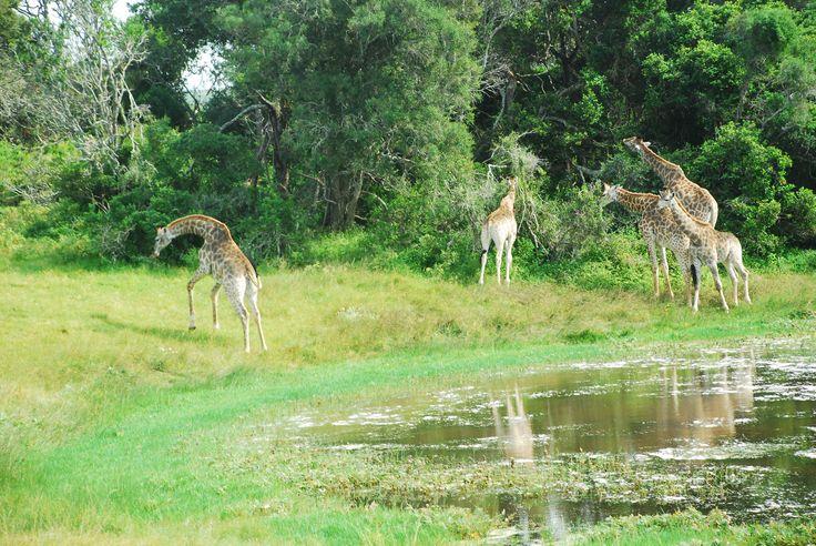 Giraffe family at one of the dams at Sibuya Game Reserve, Eastern Cape, South Africa www.sibuya.co.za