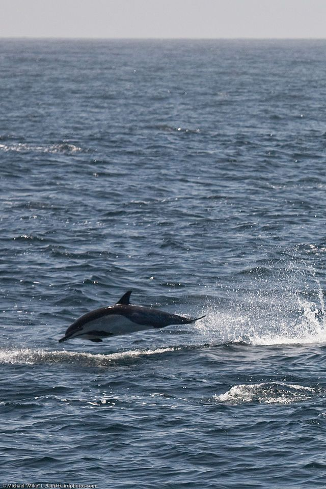 Common Dolphin of genus Delphinus - Common dolphin - Wikipedia, the free encyclopedia
