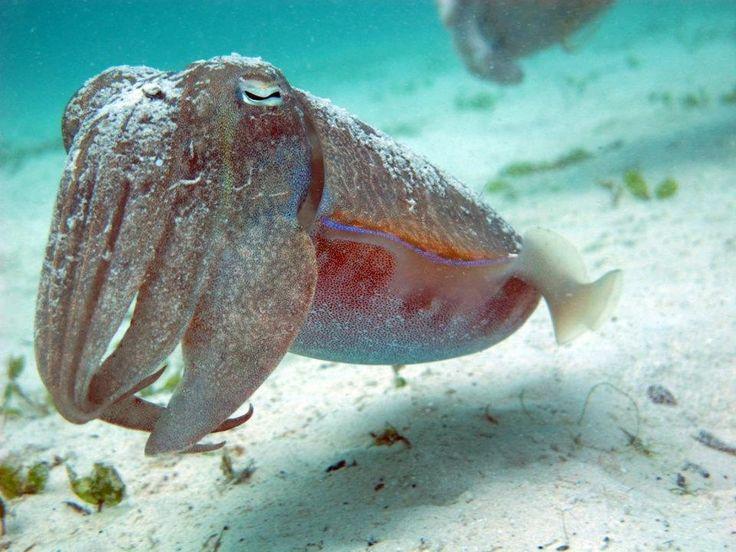 Ko Lipe Diving - Broadclub cuttlefish (Sepia latimanus) - Koh Lipe, Tarutao…