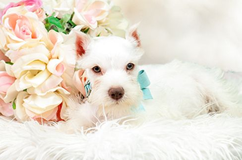 Mini Schnauzer - All white http://www.teacuppuppiesstore.com/MixedBreedsForSale.html email: gteacups@yahoo.com Tel: (954) 353-7864.  Open until 9:00pm  #teacup puppies, #teacups  #puppies #dogs #puppy # miniature #Mini #Schnauzer #mini  #CUTE