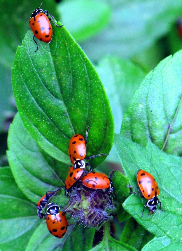 Ladybirds Invade Limpsfield: 1000+ Images About LADYBUG GARDEN On Pinterest