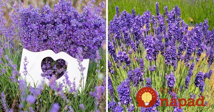 Ako pestovať levanduľu? Tipy, vďaka ktorým sa jej bude dariť aj vo vašej záhrade!