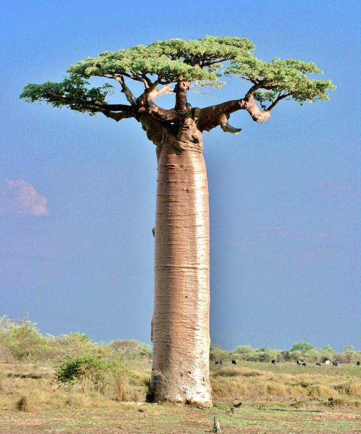 Adansonia grandidieri, sometimes known as Grandidier's baobab, is the biggest and most famous of Madagascar's six species of baobabs