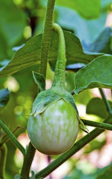 Caring For Thai Eggplants: How To Grow Thai Eggplants -  If you are a vegetarian, you are familiar with eggplant since it is often used in recipes as a meat substitute. If you are an eggplant fan, you may wonder how to grow Thai eggplants. Read this article to learn more.