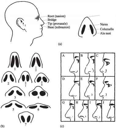 The shape of the nose is determined by the ethmoid bone and the nasal septum, which consists mostly of cartilage and which separates the nostrils. Description from imgarcade.com. I searched for this on bing.com/images