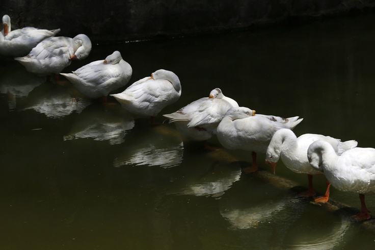 REFLECTIONS: Geese relaxed under the shade of a tree at a zoo in New Delhi Thursday as temperatures soared. (Saurabh Das/Associated Press) WSJ Photos of Day May 23, 2013