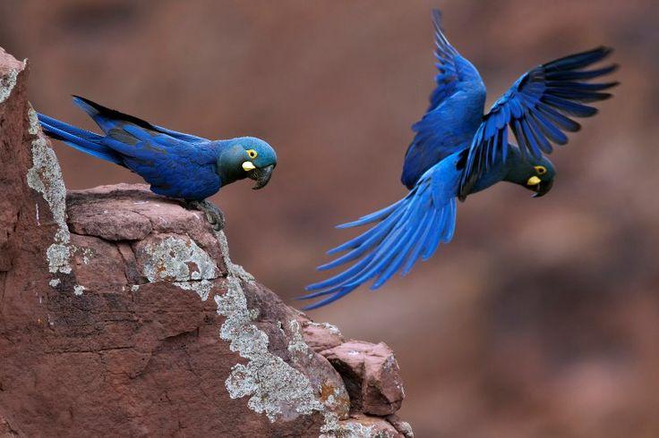 Jardins da Arara de Lear: livro conta a história linda da descoberta desta espécie em risco de extinção - Conexão Planeta