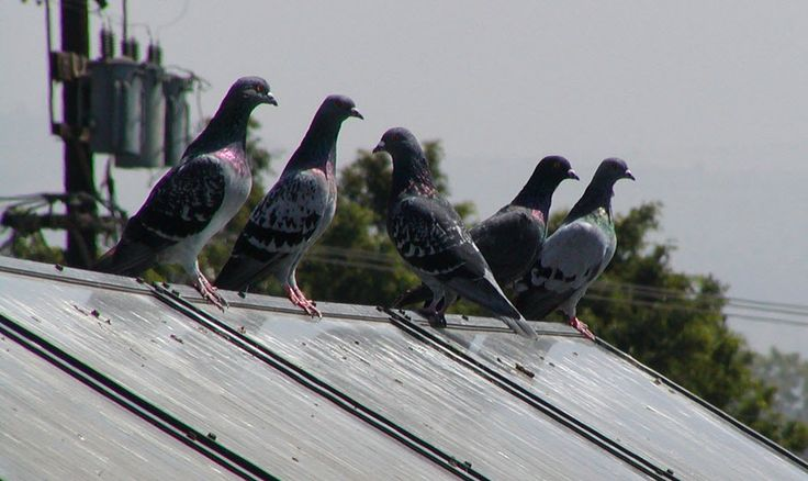 Pigeons nesting under your solar panels well bird proof