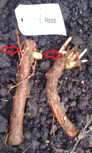 Hops are incredibly hardy plants that can really take a beating. Once you have received your rhizomes in the mail, you may find that you need to store them for a short period while you finish prep…