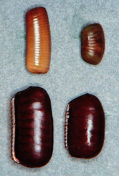 types of roaches and how to get rid of them