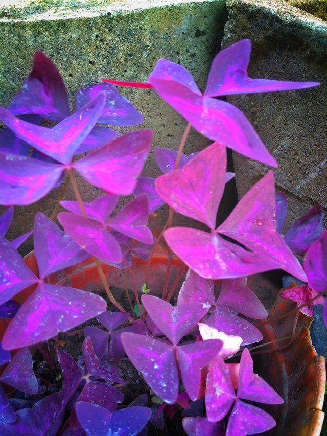 Lagi Viral Lho Bunga Kupu Kupu Atau Yang Di Sebut Dengan Nama Latinnya Bauhinia Purpurea Bunga Tanaman Bunga Langka