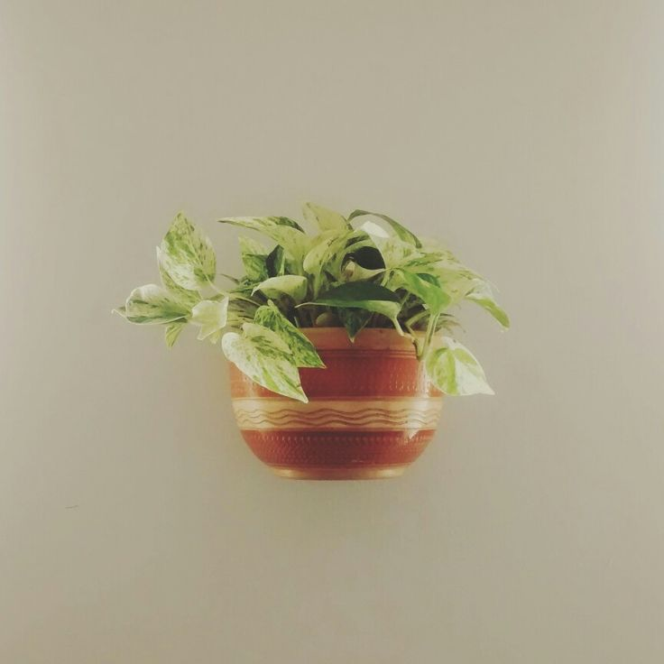 "Plant for indoor use. ""míami"""
