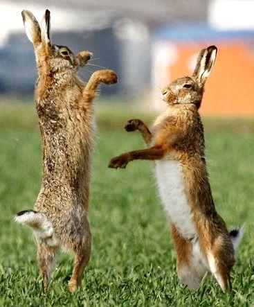 163. boxing hares   * (rechter haas gebruikt bij chocola maken links  bij cacaoboontjes roosteren en lijf zelfde haas bij mengen midden rechts vooraan)*