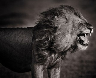 natureBig Cat, Lion, Black And White, Black White, David Lloyd, Cat Lovers, Photography, Beautiful Creatures, Animal