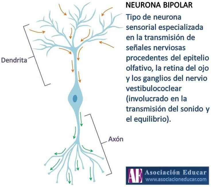 Ilustración de uso libre, sólo se pide citar la fuente (Asociación Educar). Tipo de neurona sensorial especializada en la transmisión de señales nerviosas procedentes del epitelio olfativo, la retina del ojo y los ganglios del nervio vestibulococlear (involucrado en la transmisión del sonido y el equilibrio).
