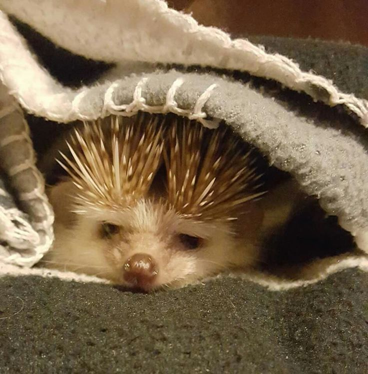 Best Tips Photos Images On Pinterest Instagram Photo Ideas - This instagram account will satisfy your addiction for adorable hedgehogs