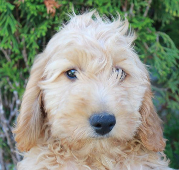 Taylor Goldendoodle Puppies For Sale Near Grabill Indiana Goldendoodle Goldendoodlepuppies Puppies Goldendoodle Puppy For Sale Goldendoodle