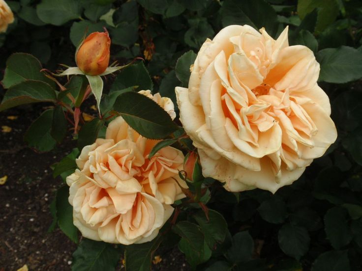 Rosa 'Valencia', described and illustrated in the plant guide of my website http://www.aboutgardendesign.com