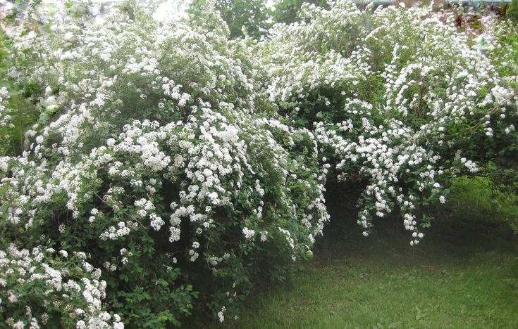 Spirea 'bridal viel' as beautiful as it sounds.  Spring bloom