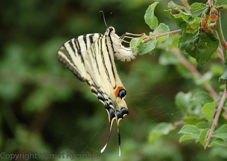 Swallowtail butterfly, France