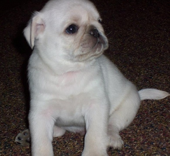 17 Best images about I heart pugs on Pinterest | Teacup ...  White