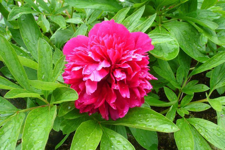 Extrait de fleur de pivoine rouge maison
