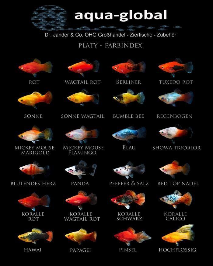 Pin On Fish 月光鱼 玛丽鱼