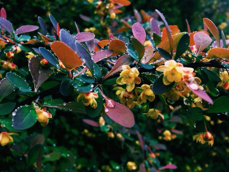 Japanese Barberry (berberis thunbergii): This looks like a barberry—possibly Japanese barberry—a deciduous shrub that grows best in full sun. Red and yellow leaved varieties are sold as ornamentals but the green-leaved variety is  considered invasive in many areas.