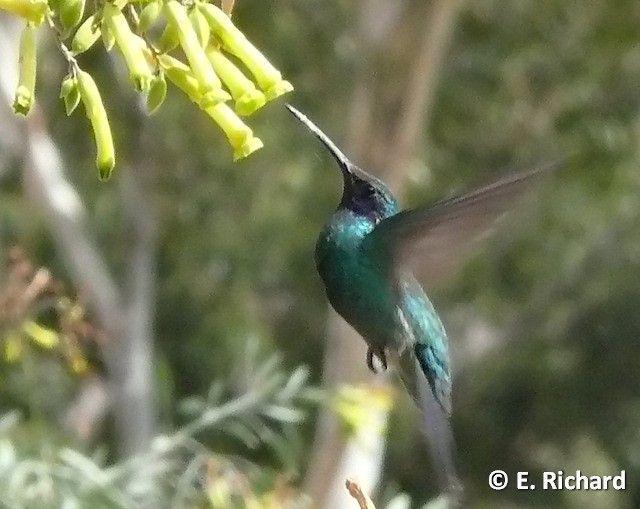 El colibrí cometa es declarado patrimonio natural de La Paz | Bolivia Informa