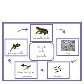 Le cycle de la grenouille en + d'observations dans la nature .