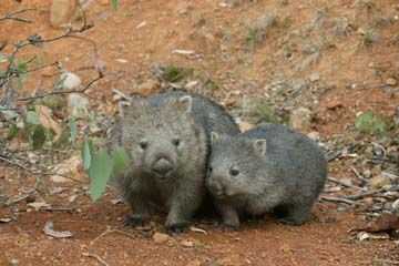 Baby wombat climbs on mom - Hairy-nosed Wombats are the smallest and most social of all wombat species. Description from pinterest.com. I searched for this on bing.com/images