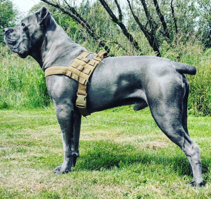 Cane Corso ... - Cane Corso …, 2020 | Köpek türleri, Cane ...