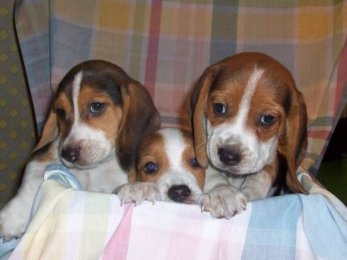 BEAGLE PUPPIES ----9  WEEKS OLD