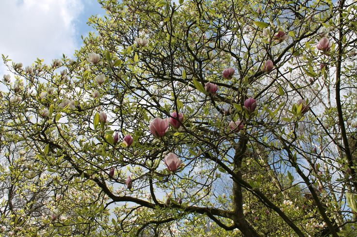Magnolia - beverboom @ Keukenhof