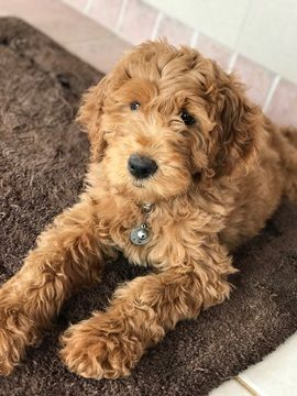 Litter of 9 Goldendoodle puppies for sale in MARIETTA, GA