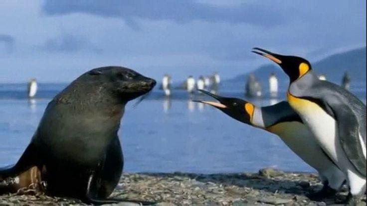 Penguin - A Group of Aquatic,