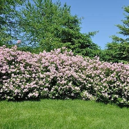 Miss Kim Lilac Shrubs For Privacy Garden Shrubs Shrubs