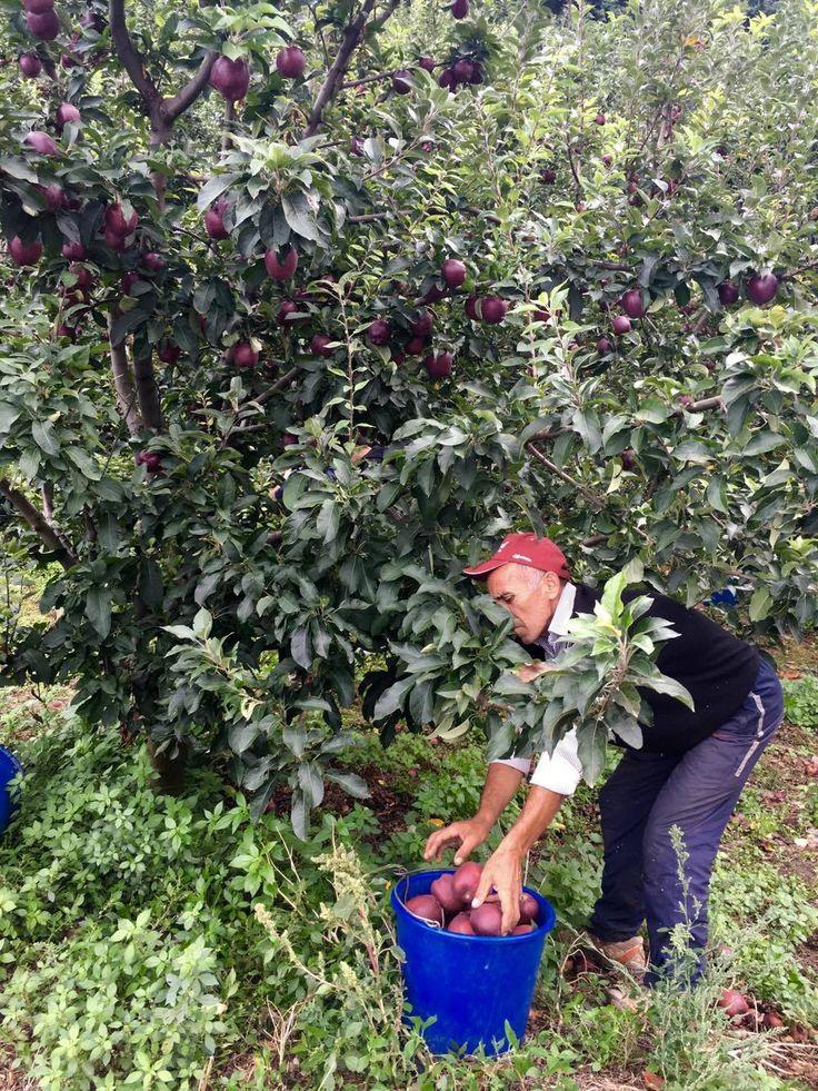 Μiλα μου για μήλα! - http://parallaximag.gr/thessaloniki/reportaz/zagorin